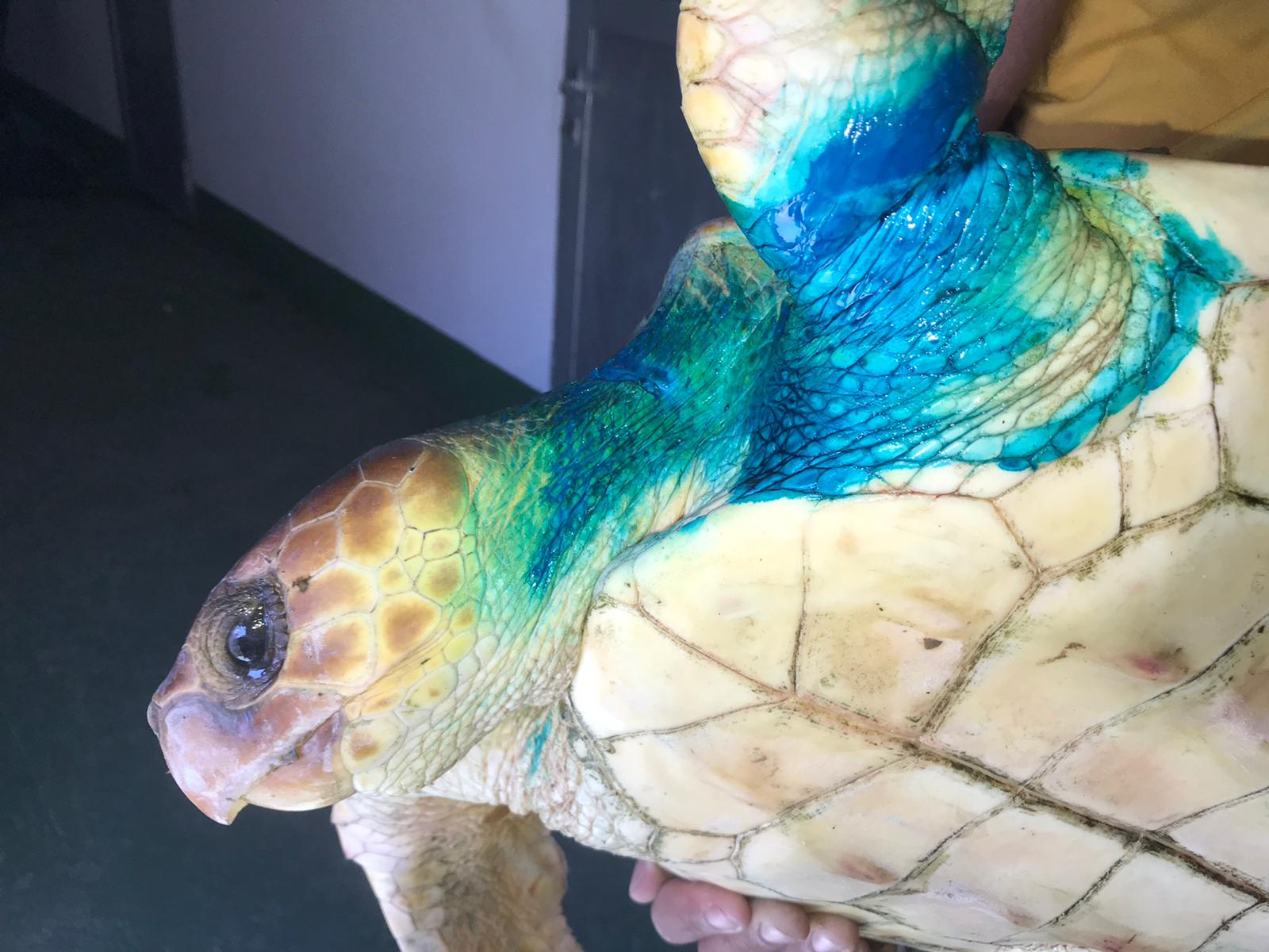 Tortuga atendida en el Centro de Recuperación de Fauna Silvestre de Tarifa. Gran Canaria