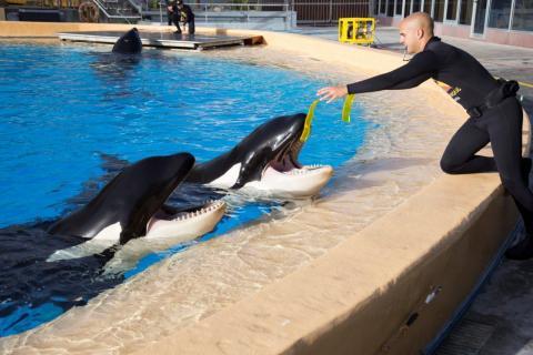 Orcas en Loro Parque