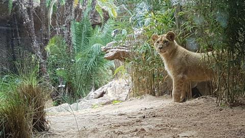 León de Loro Parque en Tenerife
