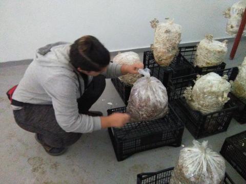 Cultivando setas