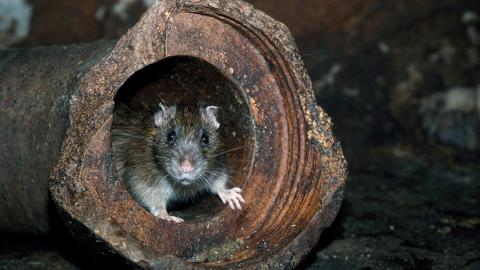Rata en una tubería