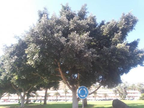 Árbol con pulgón
