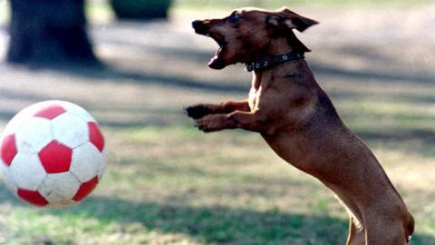 Perro salchicha con pelota