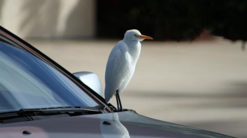 Pájaro sobre un coche