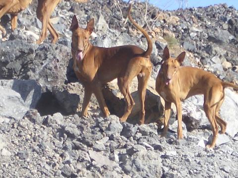 Perros cazadores. Fuerteventura