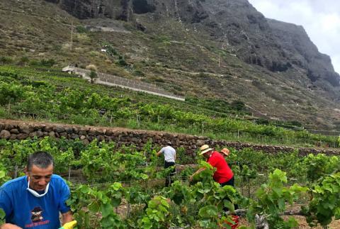 Vendimia. Canarias