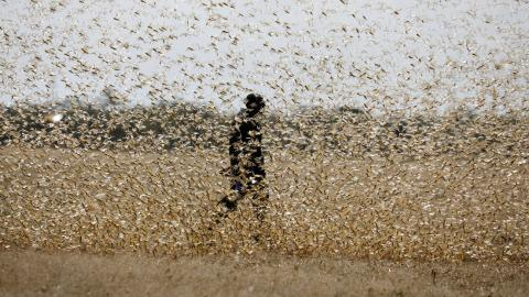 Plaga de langosta. África Oriental