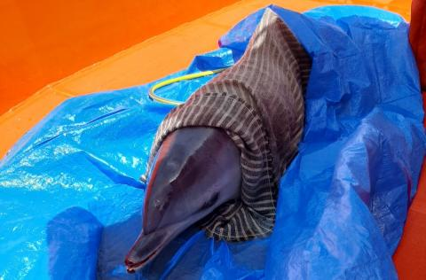 Delfín liberado en Breña Alta. La Palma