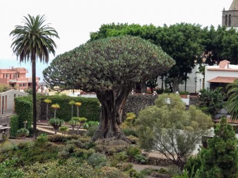 Drago de Icod de los Vinos. Tenerife