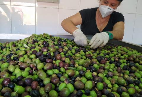 Campaña de recogida de aceitunas de Agüimes. Gran Canaria
