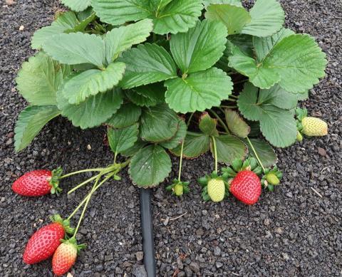 Planta de fresas
