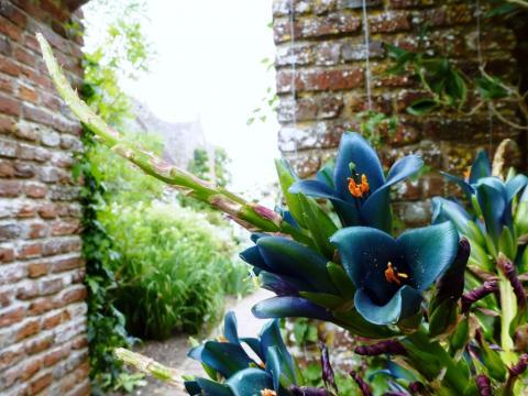 Puya chilena de flores turquesa en el Jardín Botánico