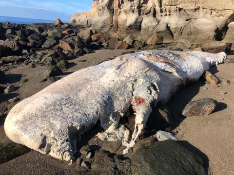 Cachalote muerto que varó en la playa Medio Almud en Mogán. Gran Canaria