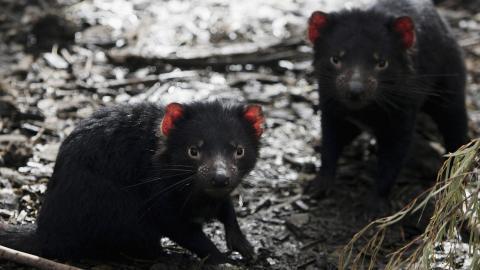Demonios de Tasmania. Australia