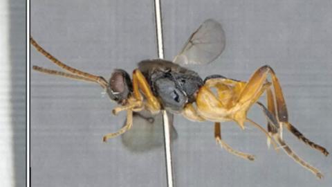 Avispa 'Microgaster godzilla'
