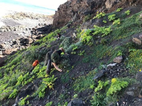 Cabildo de Gran Canaria. Protección de plantas. Semillas de Tomillones, Gildanas, Jarillas/ CanariasNoticias.es