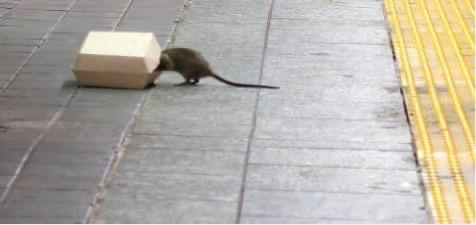 Ratas en San Bartolomé de Tirajana / CanariasNoticias.es