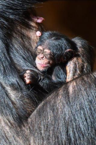 Cría de chimpancé. Loro Parque/ canariasnoticias