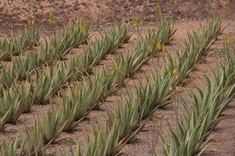 Cultivo de aloe vera en Canarias / CanariasNoticias.es