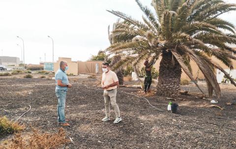 Poda de palmeras de instalaciones del Cabildo de Fuerteventura / CanariasNoticias.es