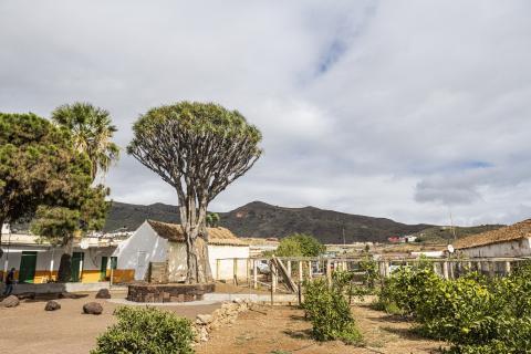 Drago de Luis Verde en Valsequillo (Gran Canaria) / CanariasNoticias.es